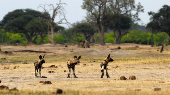 Wild dog pups watching their surroundings