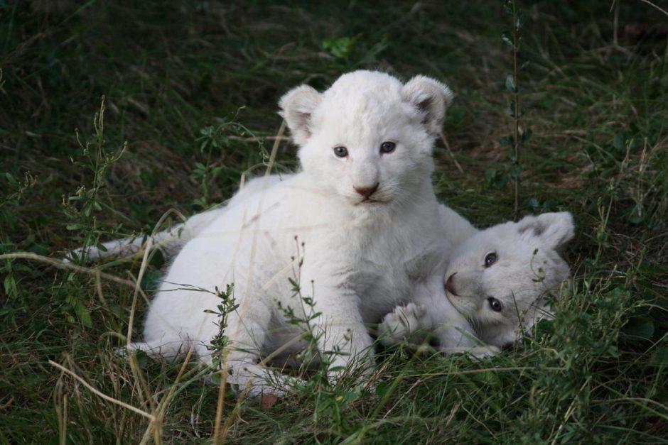 Zwei kleine weiße Löwen spielen im Gras
