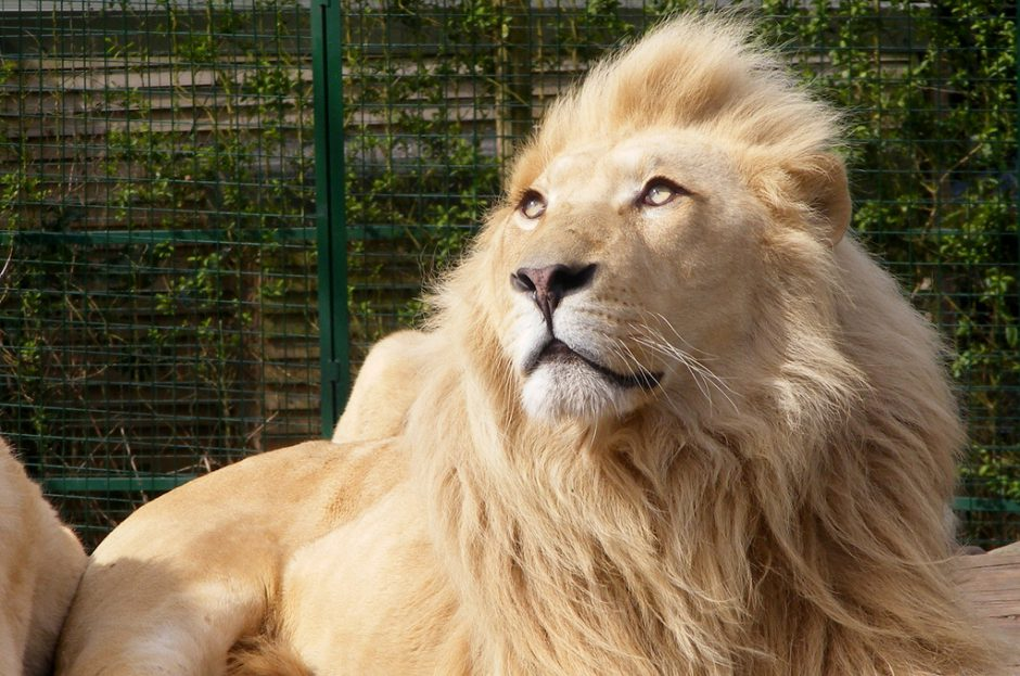 A male white lion with a majestic coat