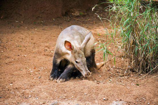 The rare aardvark is delightful to watch
