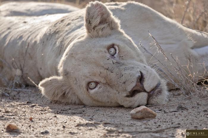 A ehite lioness at Umlani Bushcamp