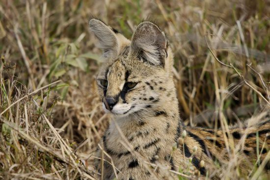 A rare serval camouflages well into its natural habitat