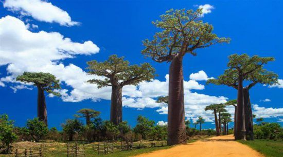 The Mesmerising Baobab Alley in Madagascar