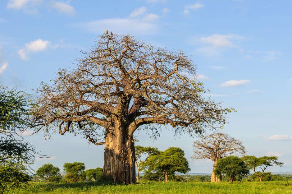 Les baobabs font partie du décor du parc Tarangire