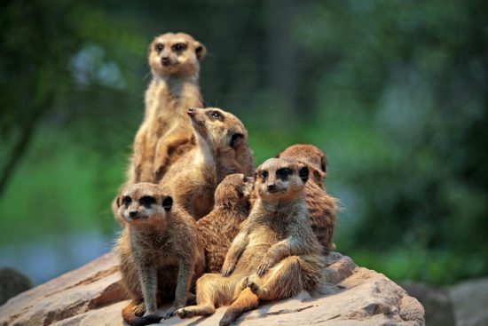 Meerkats keep a lookout together