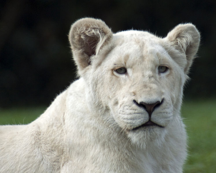 A young white lion