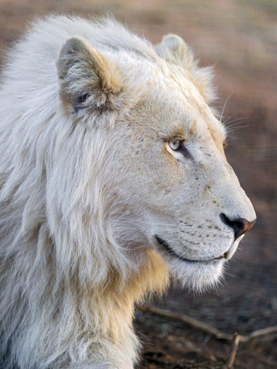 The majestic profile of a white lion