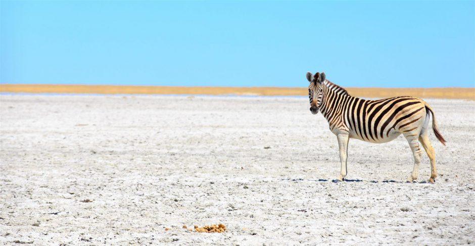 Zebra in der Kalahari bei Sonnenschein