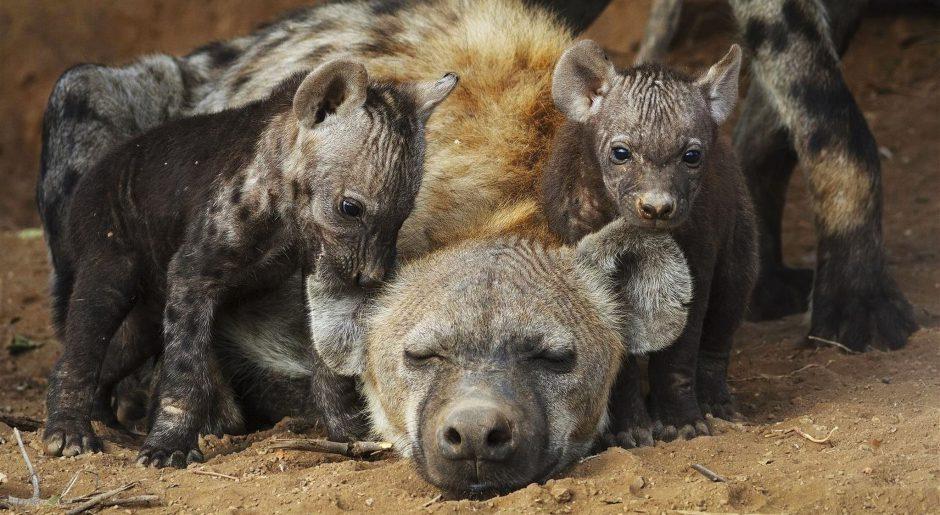 Süßer Nachwuchs bei den Hyänen