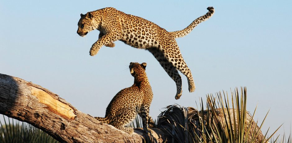 Green Season in Botswana: Raubtiere wie Leoparden sind besonders aktiv