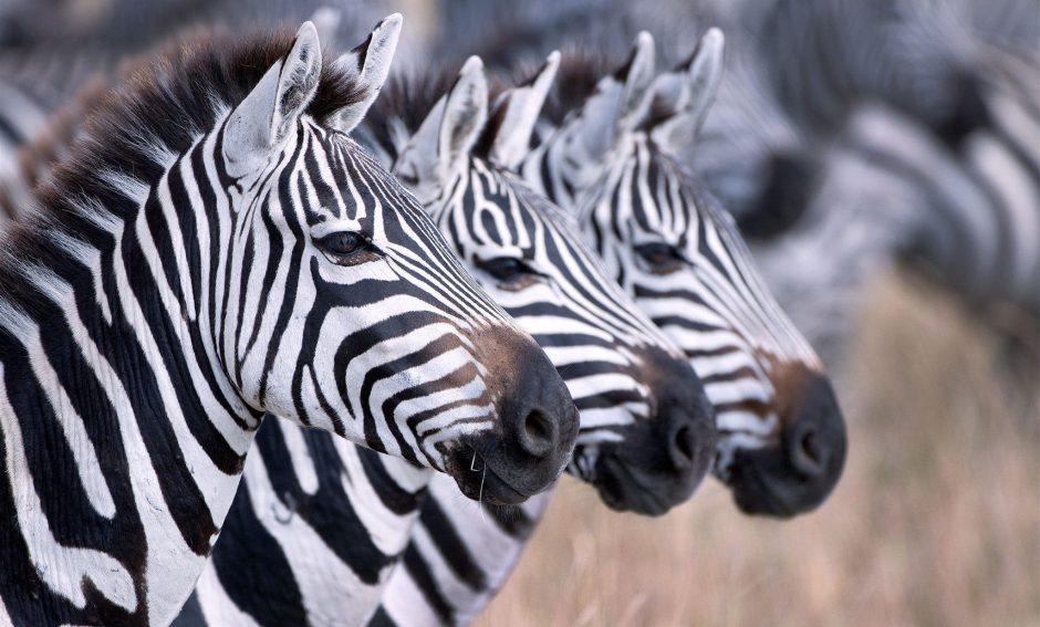 Drei Zebras in Botswana