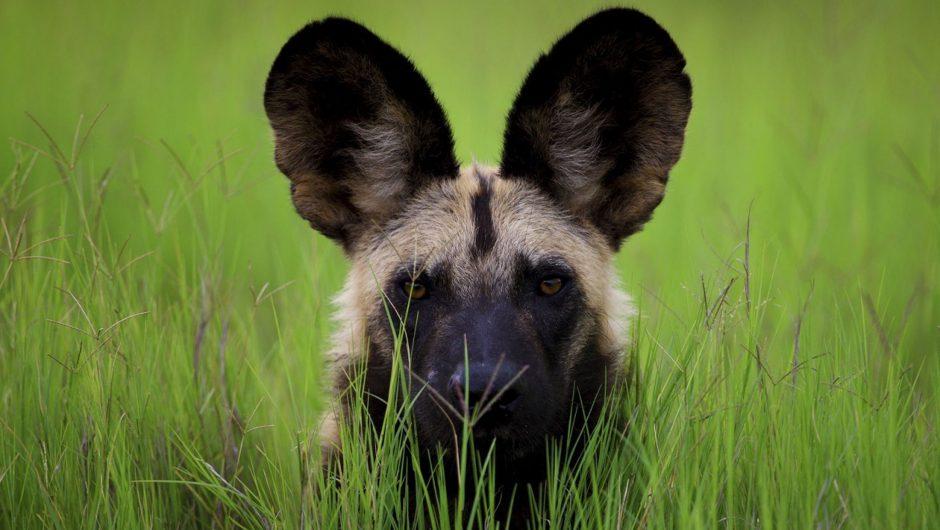 Afrikanischer Wildhund im hohen grünen Gras