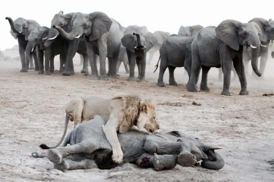Lion attacks a elephant calf while the herd stomps nearby