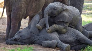 Baby elephants playing with the younger members of the herd