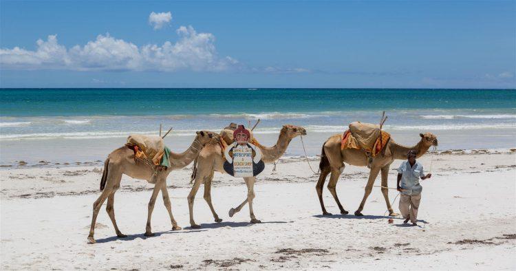 Drei Kamele und ein mann auf einem Strand
