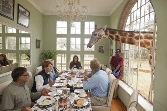 Giraffe schaut beim Fenster hinein auf den Frühstückstisch
