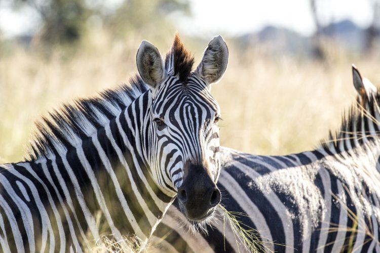 Die wunderschönen Streifen eines Zebras in freier Natur