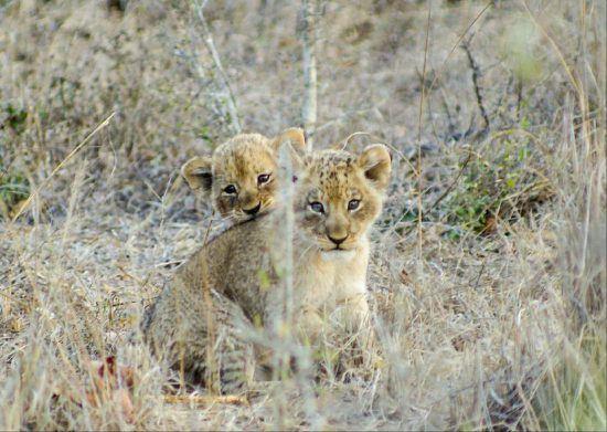 Zwei kleine Löwen sitzen im Gras und gucken scheu in die Kamera