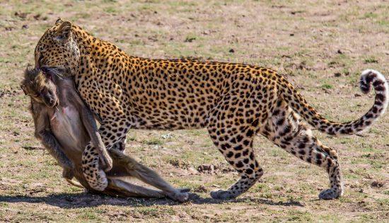 leopard kills baboon