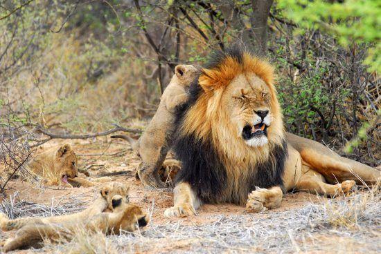 Père lion et ses lionceaux dans la savane