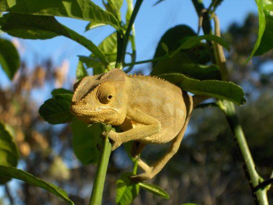 A Madagascan Chameleon