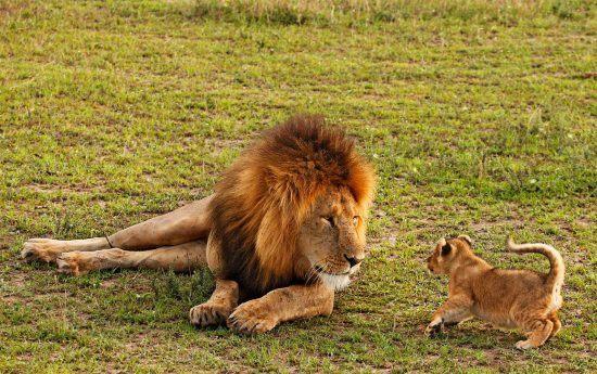 Père lion et son lionceau dans la savane