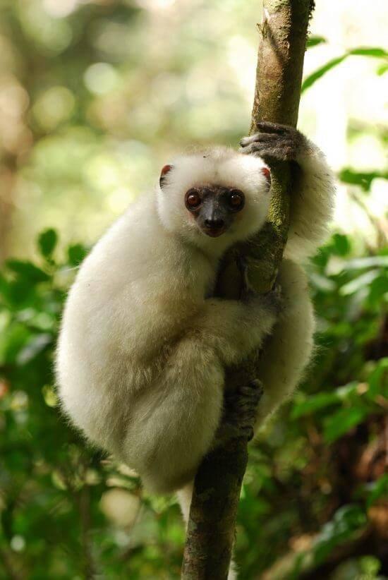The rare Silky Sifaka Lemur of Madagascar