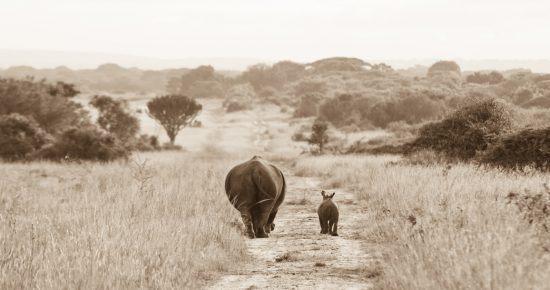 père Rhinocéros et son petit marchant dans la savane - fête des pères