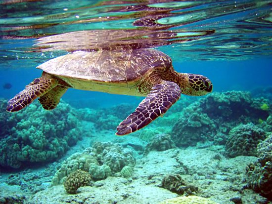 A turtle swimming in pristine waters