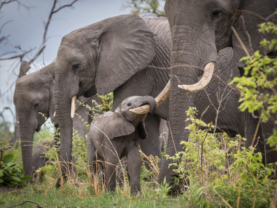 Kleiner Elefant klammert sich mit seinem Rüssel an die Stoßzähne seiner Mama
