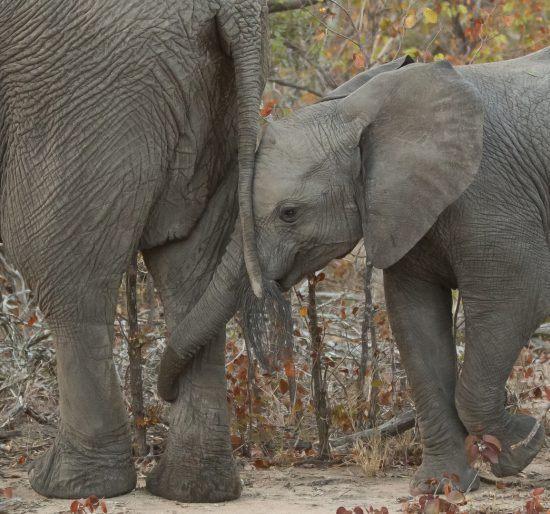 Éléphanteau enroulant sa trompe autour de la patte de sa mère, famille d'animaux sauvages.