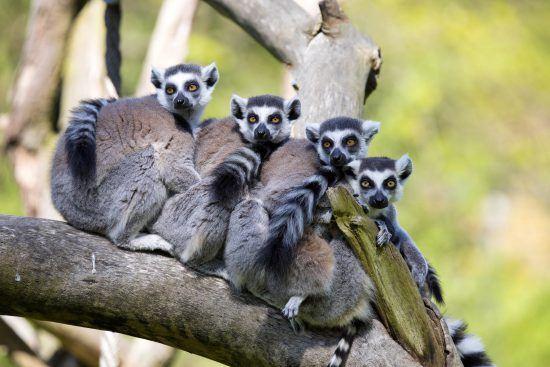 Four lemurs form a huddle line