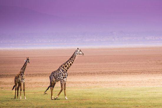Two giraffes at Lake Manyara