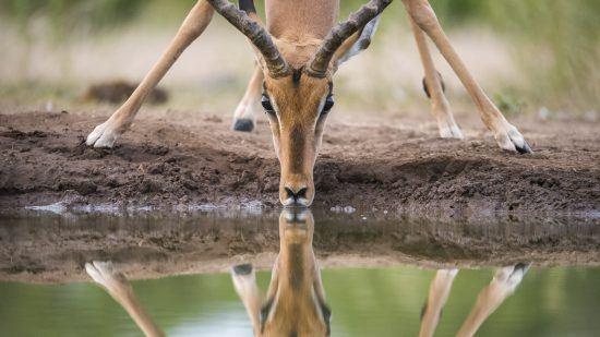 Météo au Parc Kruger | Impala