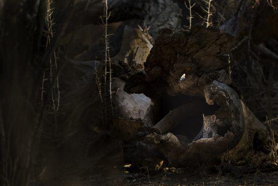 Alistair Swartz - A tiny leopard cub hides in a fallen hollow tree.