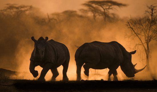 rinocerontes, namíbia, conservação