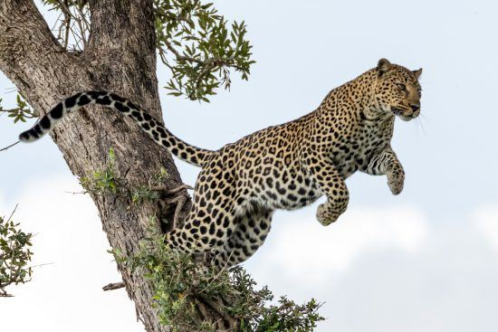 Carsten Riedl, Masai Mara, Leopard jumps from one Tree to another