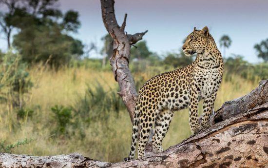 Chase Wells, Cape Town, Leopardess on the lookout, Okavango delta, Botswana.
