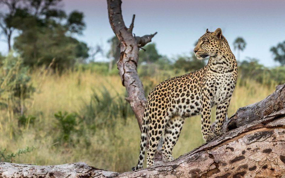 Ein Leopard im Okavango Delta in Botswana dreht sich auf einem umgestürzten Baum um