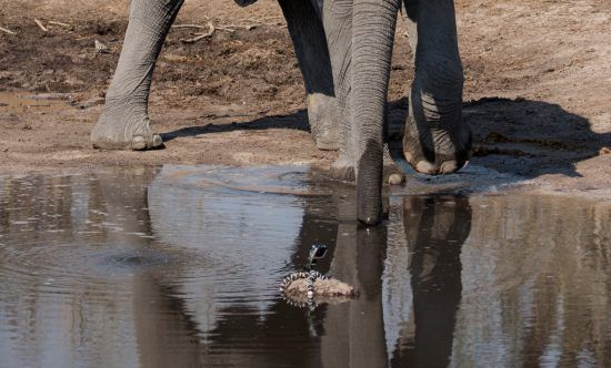 An elephant at waterhole with the GoPro