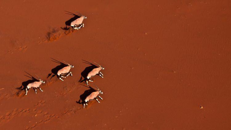 Oryx galopant dans les désert de Namibie