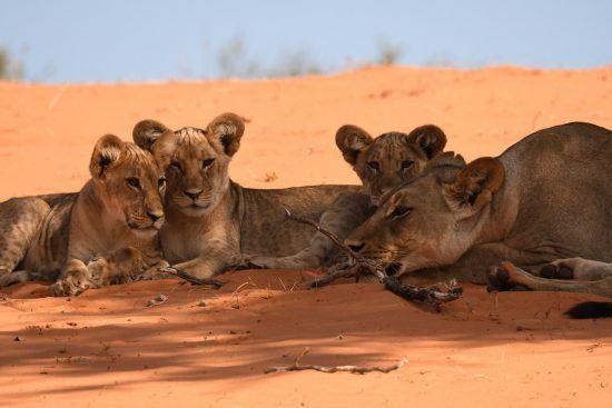 Cachorros de león descansando a la sombra