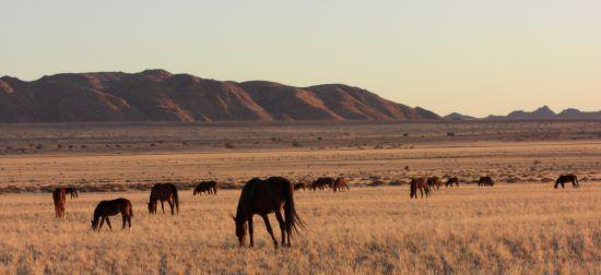 Cavalos selvagens pastando na Namíbia