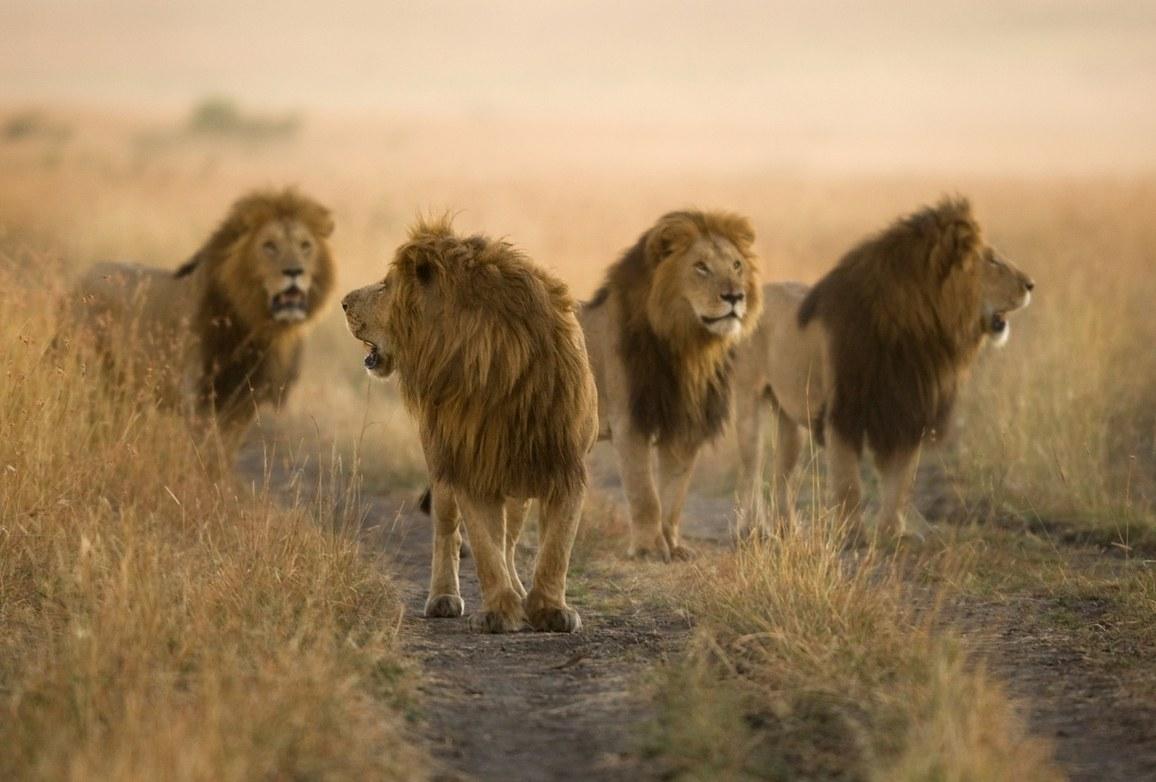 """Os quatro filhos de Notch, conhecidos como os """"quatro bandidos"""", Masai Mara, Quênia"""