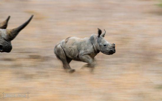Ein junges Breitmaulnashorn rennt durch die Savanne