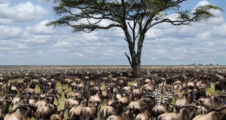 Gnous et zèbres à perte de vue dans la vallée du Masai Mara au Kenya.