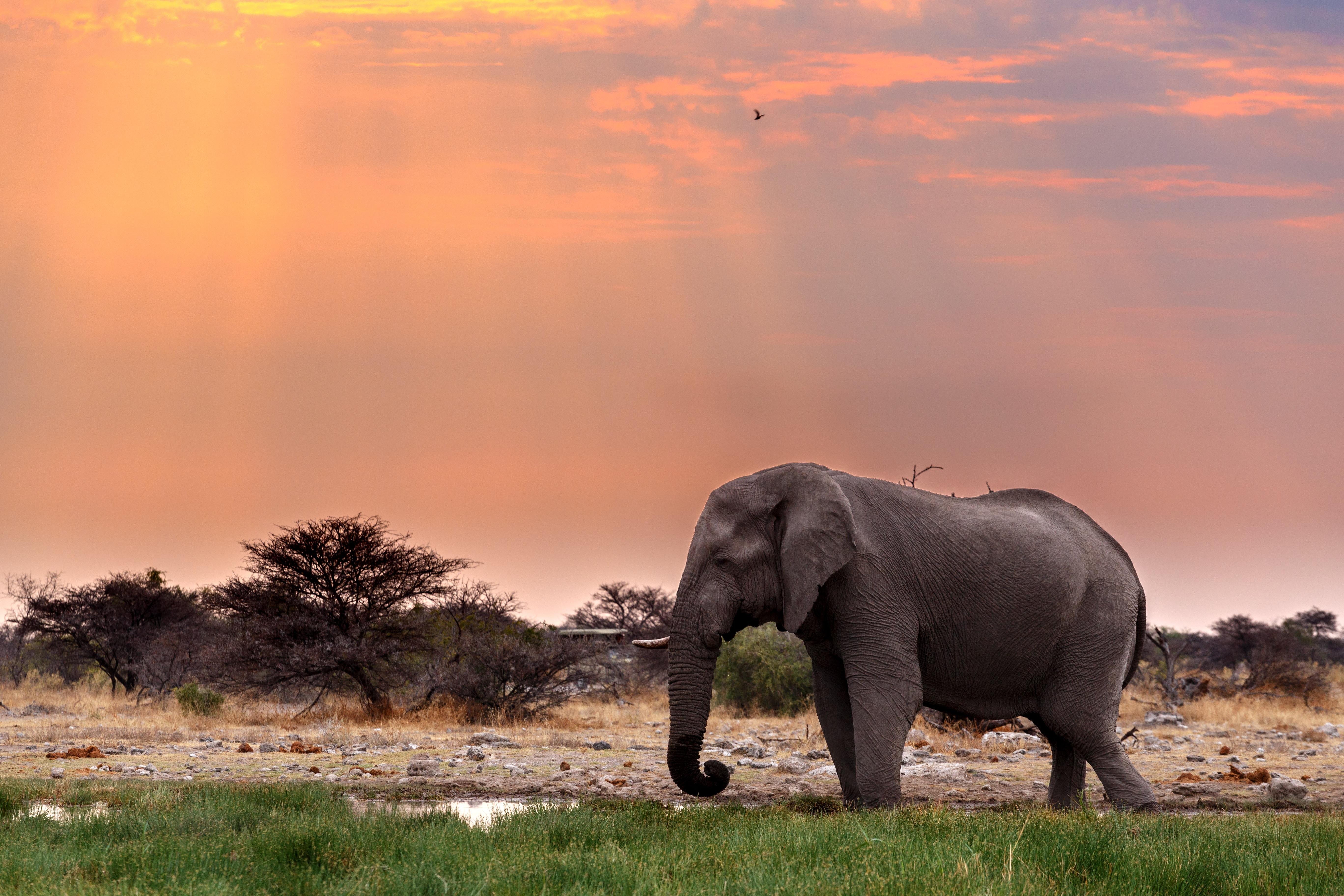 Puesta de sol de elefante