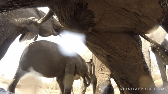 The underbelly of elephants taken by the GoPro