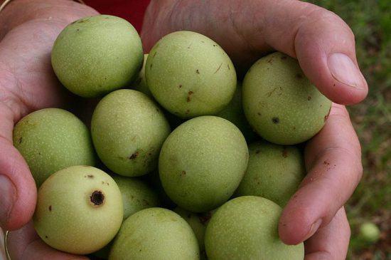 Frutos verdes de marula encontrados abaixo de uma árvore na estrada entre Nylstroom e Potgietersrust, Transvaal, África do Sul