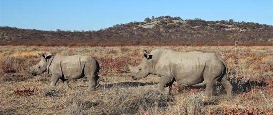 Rinocerontes de Damaraland